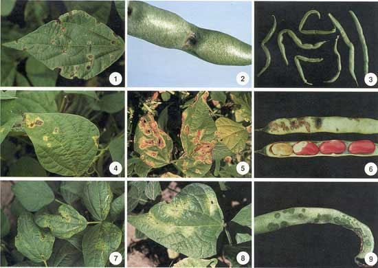 Beans/Bacterial Diseases Photo Collage