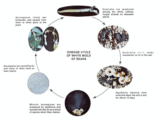 Disease Cycle of White Mold of Beans