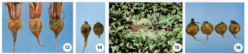 Beet Root Rot Photo Collage #4