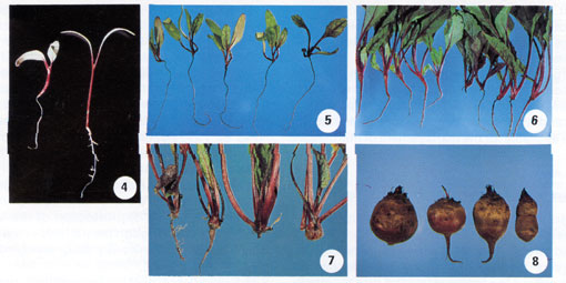 Beet Root Rot Photo Collage #2