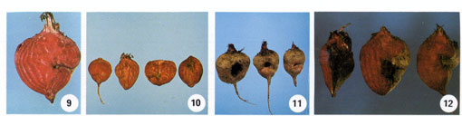 Beet Root Rot Photo Collage #3