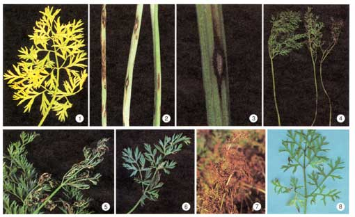 Photo Collage of Carrot Leaf Blight