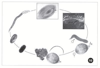 Life cycle of trichinella spiralis