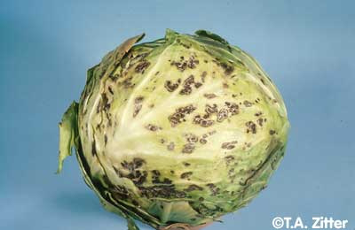 Cabbage Photo 2