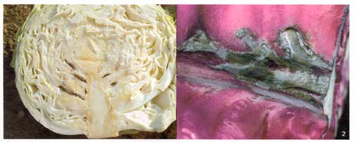 Cabbage Photo Collage2