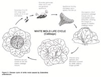 White Mold Life Cycle (Cabbage)