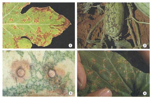 Cucurbit Anthracnose Photo Collage #1