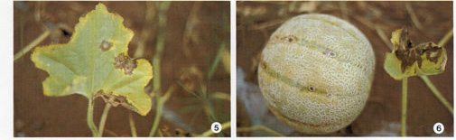 Cucurbit Anthracnose Photo Collage #2