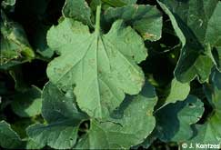 early symptoms of downy mildew