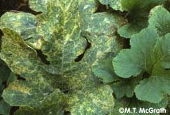 Downy mildew on pumpkin