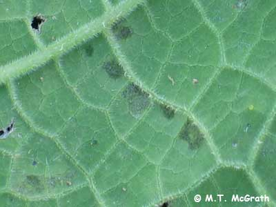 downy mildew on winter squash