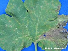 downy mildew on pumpkin leaf
