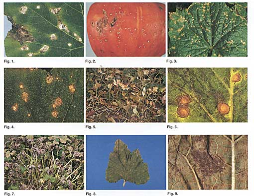 Crucifer Foliar Diseases Photo Collage