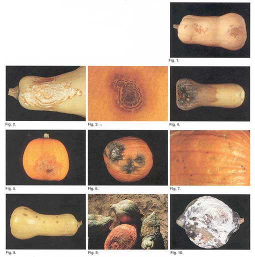 Fruit Rots of Squash & Pumpkins fact sheet