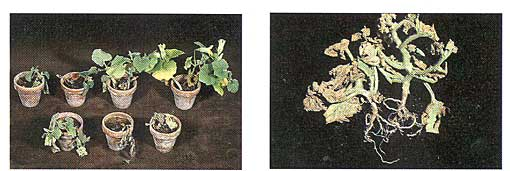 Fusarium Diseases of Cucurbits Photo Collage #2