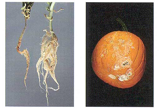 Fusarium Diseases of Cucurbits Photo Collage #3