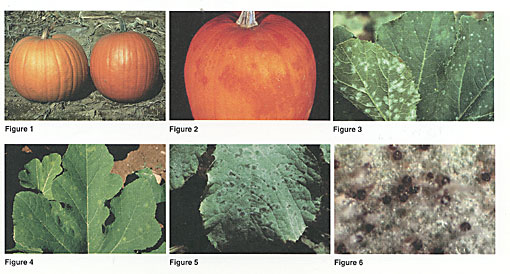 Powdery Mildew Photo Collage
