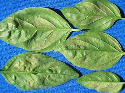 basil -downy mildew