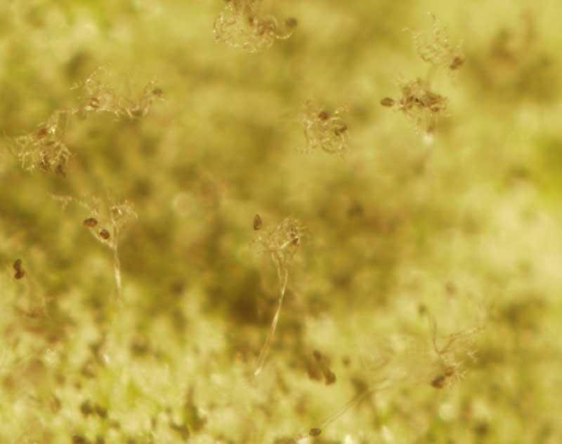 pathogen free plants