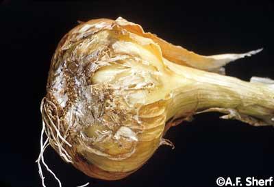 Onion Disease