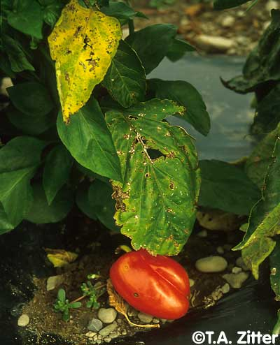 Pepper Plant Diseases Photos http://vegetablemdonline.ppath.cornell.edu/PhotoPages/Impt_Diseases/Pepper/Pep_Bact.htm