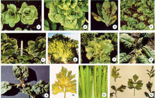 Viruses Of Leafy Vegetables & Celery fact sheet