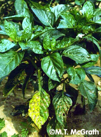 Pepper Plant Diseases Photos http://vegetablemdonline.ppath.cornell.edu/PhotoPages/Peppers/PepperLeafSpot/LSPepper2.htm