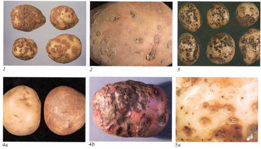 Potato Diseases Photo Collage 1