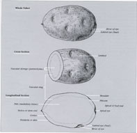 Potato Anatomy Diagram
