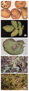 Potato Early Blight Photo Collage