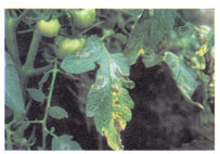 Tomato Leaflet with late blight