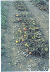 Tomato plants defoliated by late blight