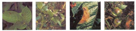 Late Blight Photo Collage #3