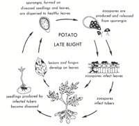 Potato Leaf Blight life cycle