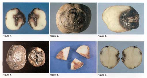 Potato Fusarium Photo Collage