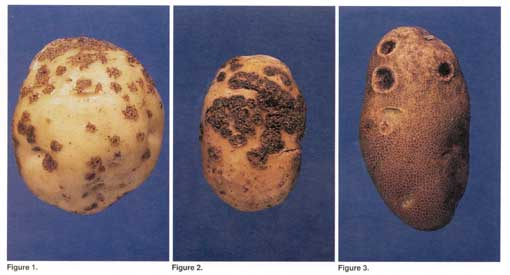 Potato Scab photo collage