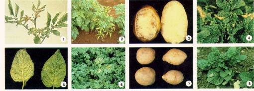 Potato Viruses Photo Collage