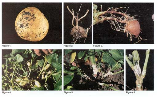 Rhizoctonia Photo Collage