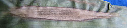 northern corn leaf blight pathogen spores