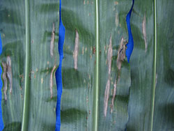 northern corn leaf blight and rust