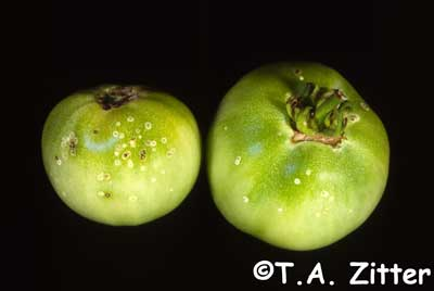 tomato bacterial canker