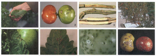 Bacterial Diseases of Tomato Photo Collage