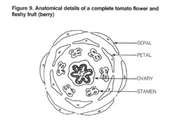 Bacterial diseases of tomato fact sheet anatomical drawing of a tomato flower1 ccuart Image collections