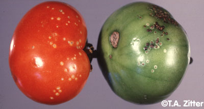 Tomato Bacterial Canker 2
