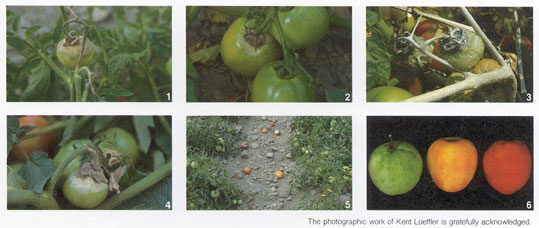 Botrytis on Tomato Photo Collage