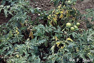 Magnesium damage on tomato