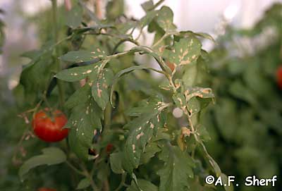malathion damage on tomato