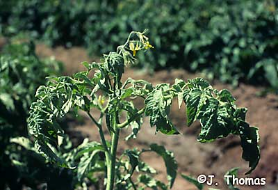potato virus Y on tomato