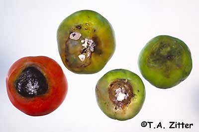 sour rot on tomato