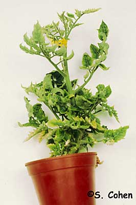 tomato yellow leaf curl virus